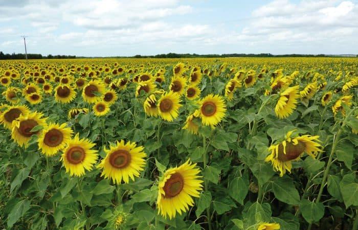Loire Valley sunflowers